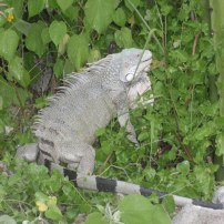 An iguana chilling out at Kokomo beach