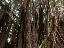 Bearded fig tree