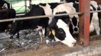The cows at Fresh Milk