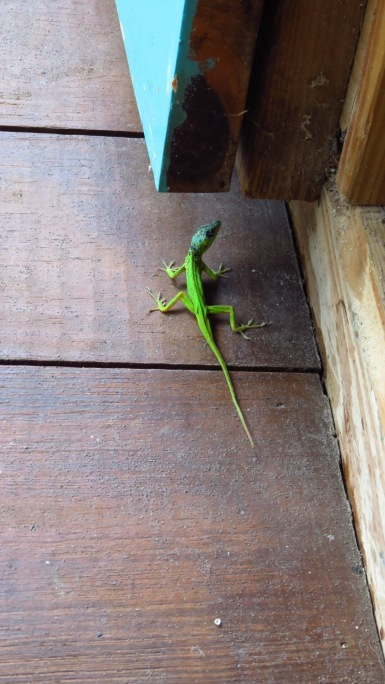 Lizard on the Fresh Milk deck