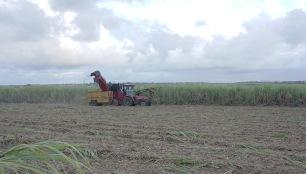 Cane harvest