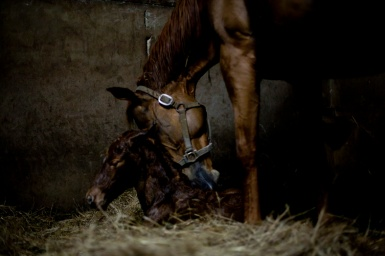The birth of a foal