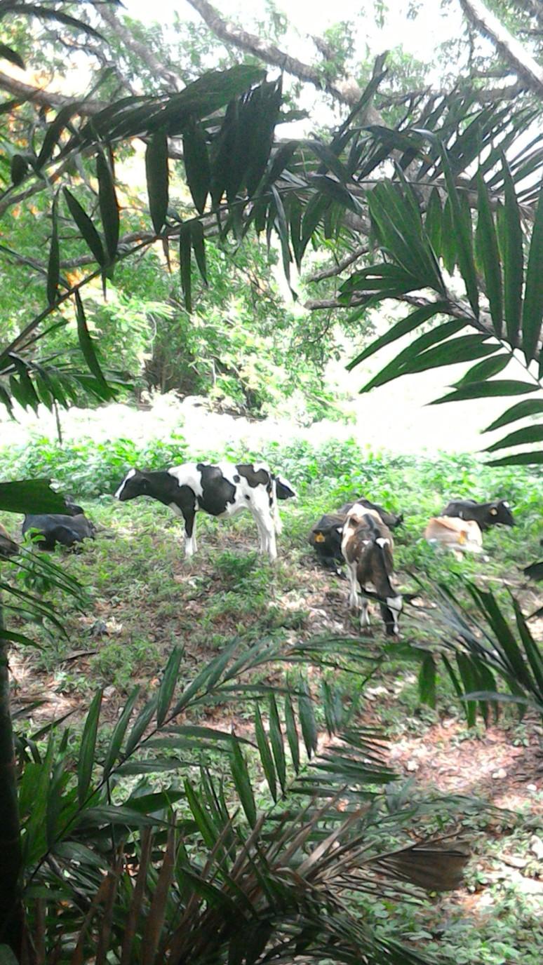 Cows at Fresh Milk